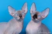 Элитные котята канадского сфинкса.