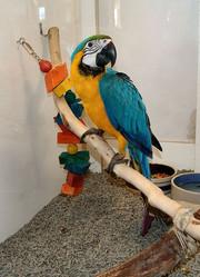 Qдома,  поднятые и зарегистрирован синих и золотых попугаи ара для прод