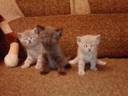 Продаются британские котята.( 1, 5 )